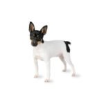 Petland Grove City, OH Toy Fox Terrier