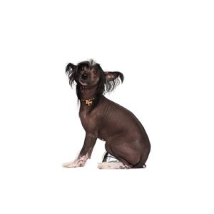 Chinese Crested Puppies - Petland in Grove City & Columbus, Ohio