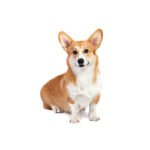 Petland Grove City, OH Pembroke Welsh Corgi