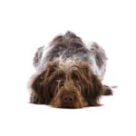 Petland Grove City, OH German Wirehaired Pointer