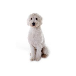Goldendoodle Puppies Visit Petland In Grove City And