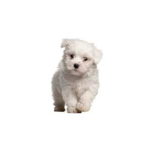 pomapoo-puppies for sale in grove city