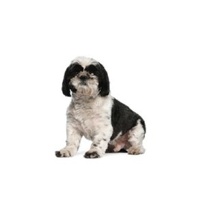Shih Tzu Puppies Visit Petland In Grove City And Columbus Ohio