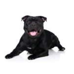 Petland Grove City, OH Staffordshire Bull Terrier