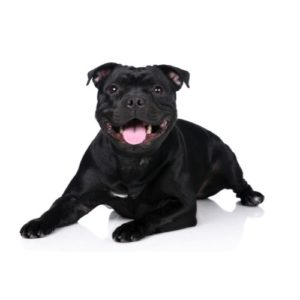 staffordshire-bull-terrier-pets for sale in grove city