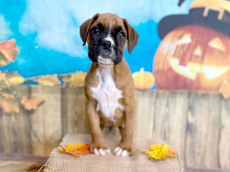Boxer-Male-Fawn-2876882-Petland Grove City, OH