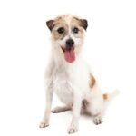 Petland Grove City, OH Jack Russell Terrier